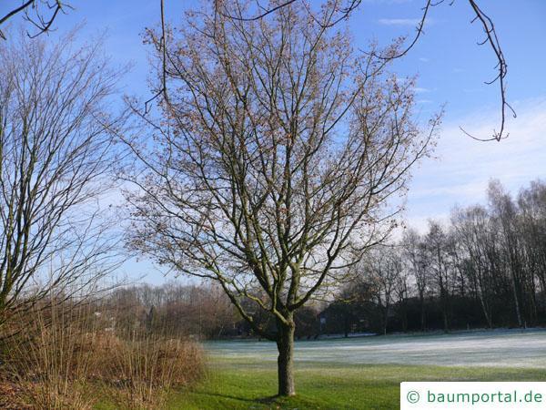Feld-Ahorn (Acer campestre) Baum im Winter
