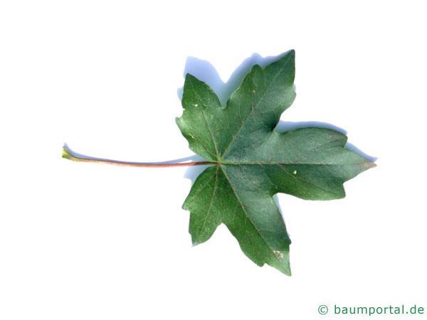 Feld-Ahorn (Acer campestre) Blatt
