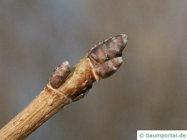 Feld-Ahorn (Acer campestre) Endknospe