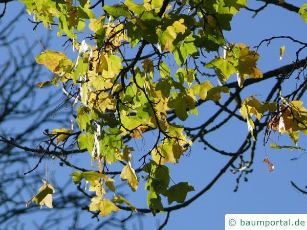 Feld-Ahorn (Acer campestre) im Herbst
