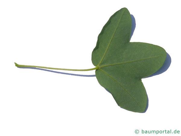 Felsen-Ahorn (Acer monspessulanum) Blatt Unterseite