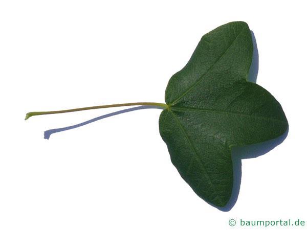 Felsen-Ahorn (Acer monspessulanum) Blatt