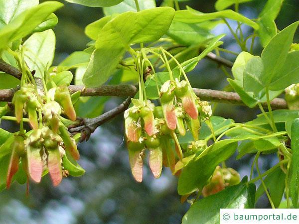 Felsen-Ahorn (Acer monspessulanum) Spaltfrucht - geflügelte Nüsschen