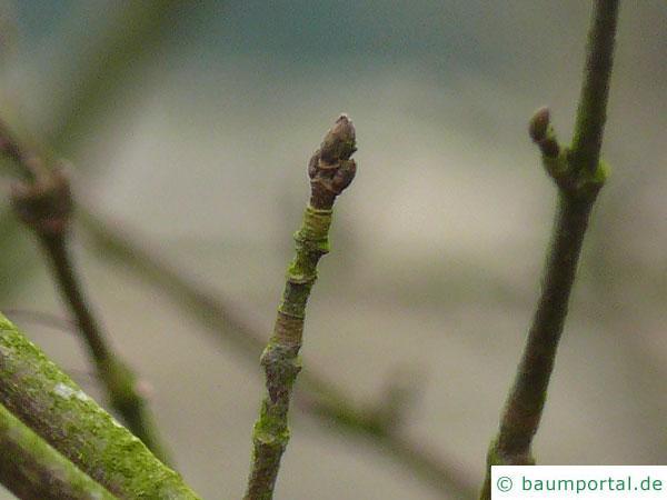 Felsen-Ahorn (Acer monspessulanum) Endknospe im Winter
