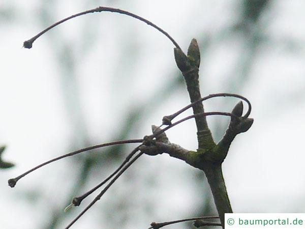 Felsen-Ahorn (Acer monspessulanum) im Winter