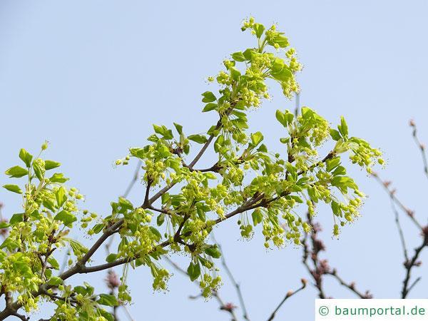Felsen-Ahorn (Acer monspessulanum) Blüten
