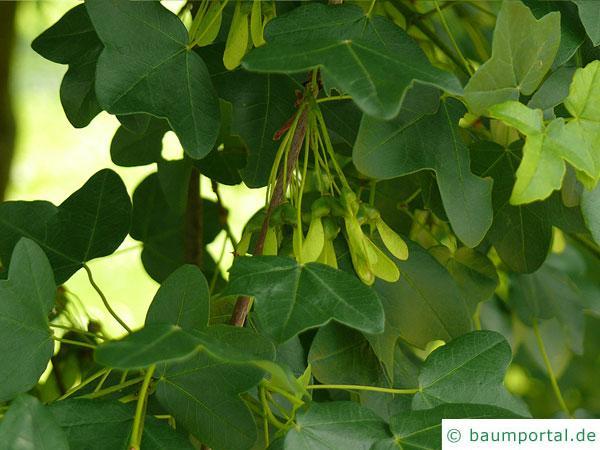Felsen-Ahorn (Acer monspessulanum) Blätter und Früchte