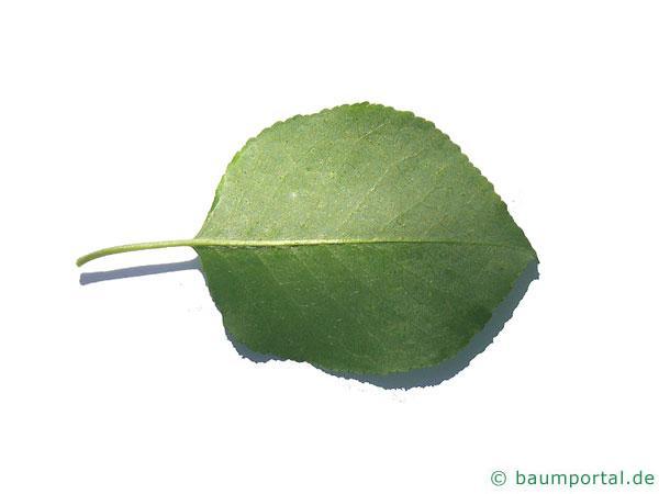 Felsen-Kirsche (Prunus mahaleb) Blatt Unterseite