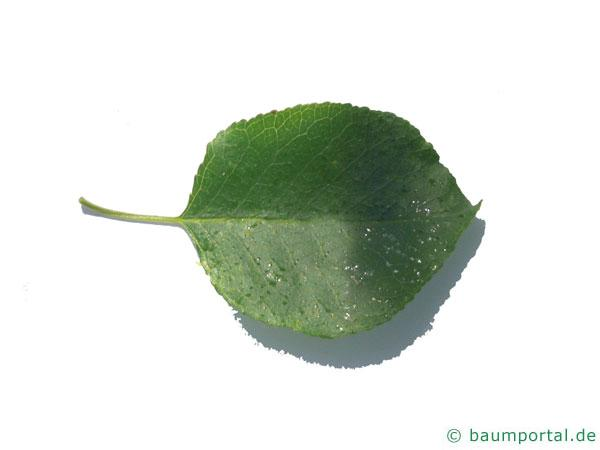 Felsen-Kirsche (Prunus mahaleb) Blatt