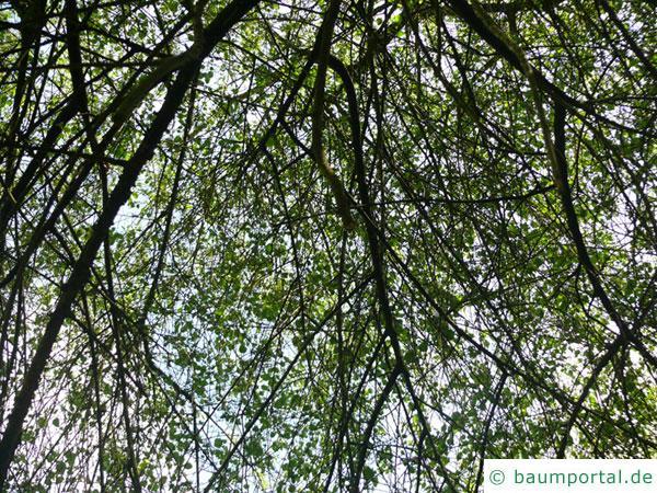 Felsen-Kirsche (Prunus mahaleb) Baumkrone im Sommer