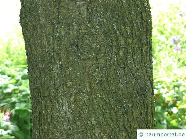 Felsen-Kirsche (Prunus mahaleb) Stamm / Rinde / Borke