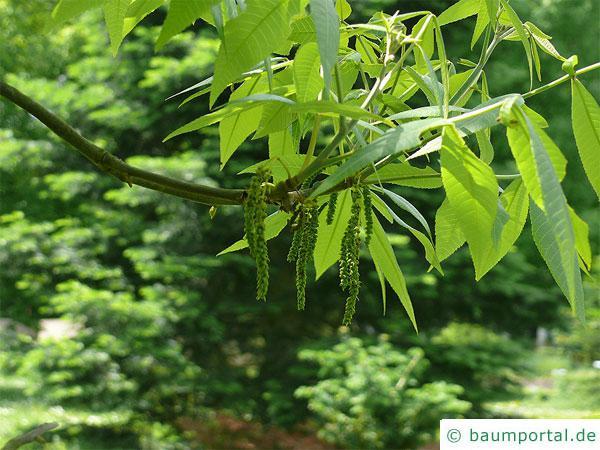 Ferkelnuss (Carya glabra) im Austrieb