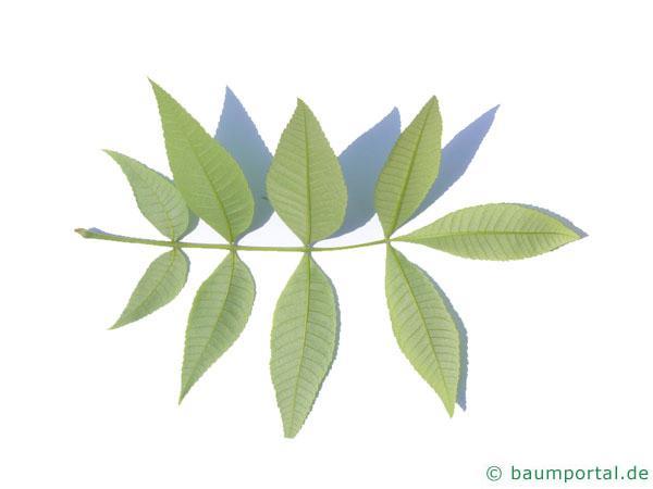 Ferkelnuss (Carya glabra) Blattrückseite