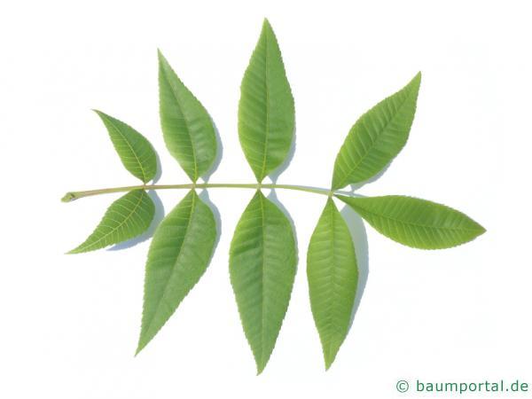 Ferkelnuss (Carya glabra) Blatt