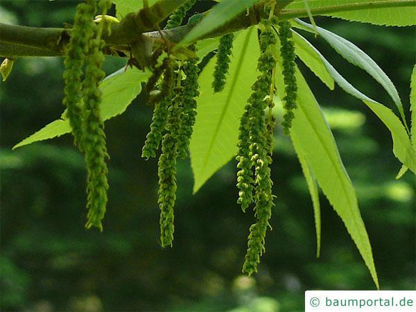 Ferkelnuss (Carya glabra) Blüte