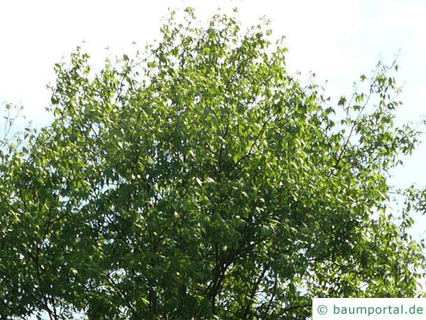 Ferkelnuss (Carya glabra) Korne