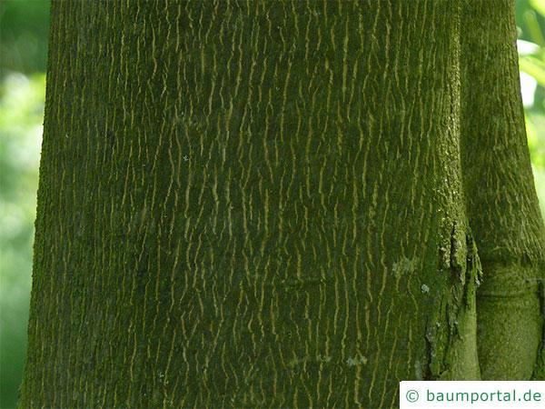 Ferkelnuss (Carya glabra) Stamm / Rinde / Borke