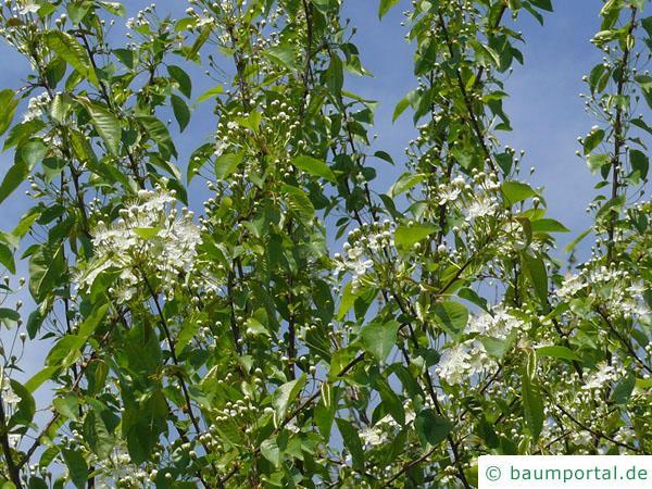 Feuer-Kirsche (Prunus pensylvanica) Krone in der Blüte