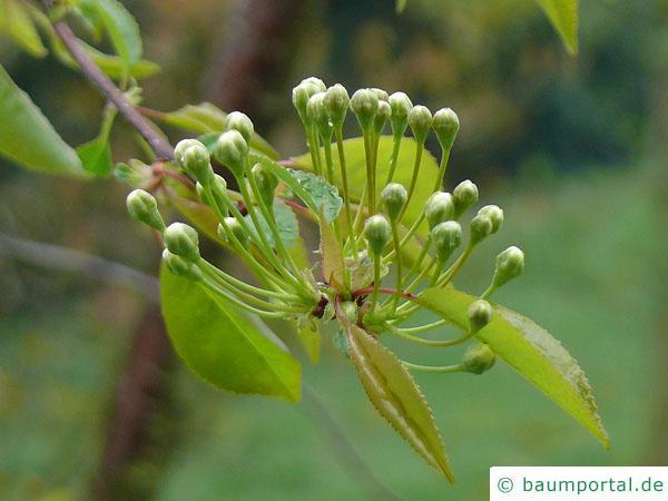 Feuer-Kirsche (Prunus pensylvanica) Blütenknospen
