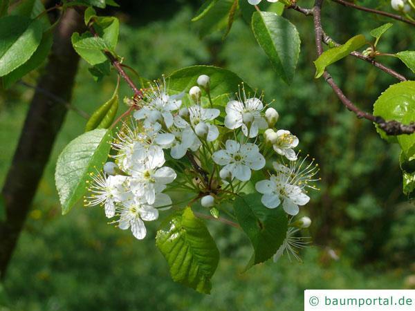 Feuer-Kirsche (Prunus pensylvanica) Blüten