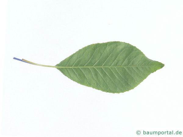 Feuer-Kirsche (Prunus pensylvanica) Blattunterseite