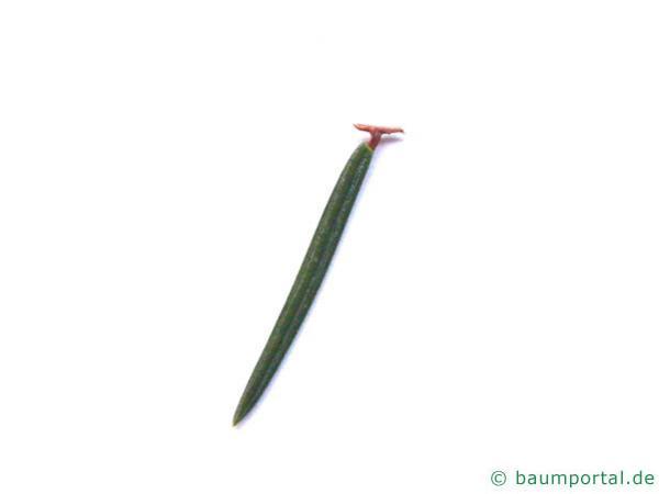 gemeine Fichte (Picea abies) Nadelabriss