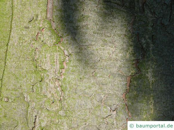 gemeine Fichte (Picea abies) Stamm