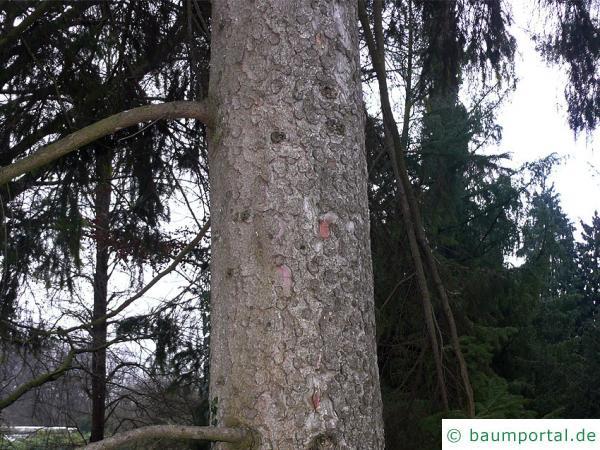 gemeine Fichte (Picea abies)