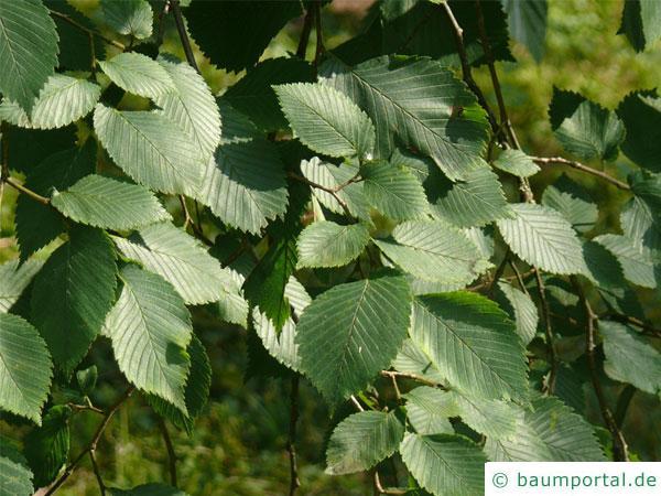 Flatter-Ulme (Ulmus laevis) Blätter