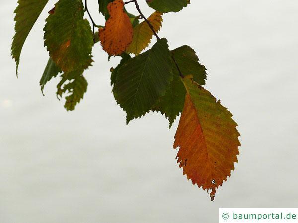 Flatter-Ulme (Ulmus laevis) Laub im Herbst