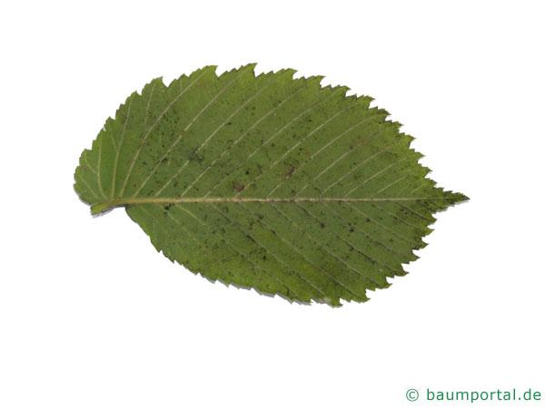 Flatter-Ulme (Ulmus laevis) Blattunterseite