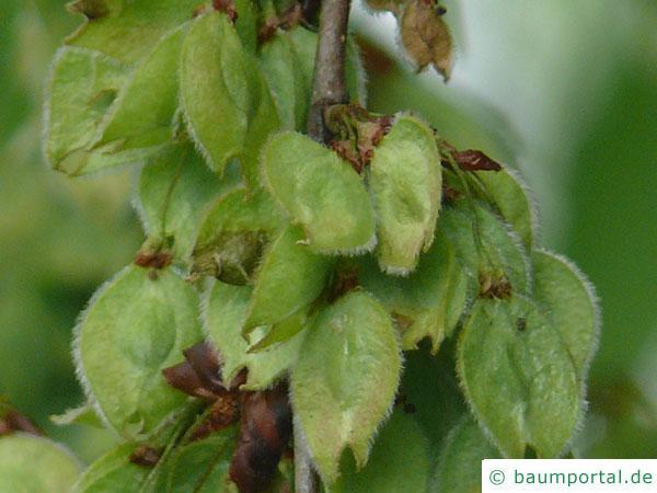 Flatter-Ulme (Ulmus laevis) Frucht