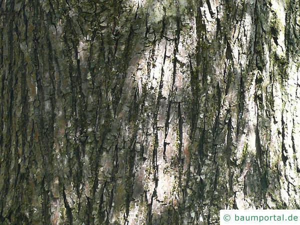 Flatter-Ulme (Ulmus laevis) Stamm / Borke / Rinde beim älteren Baum