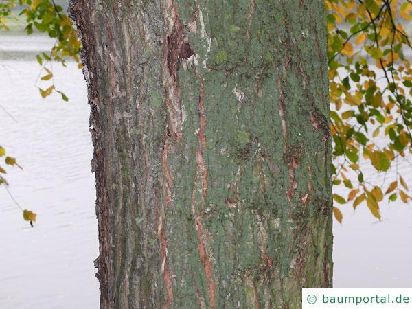 Flatter-Ulme (Ulmus laevis) Stamm / Borke / Rinde