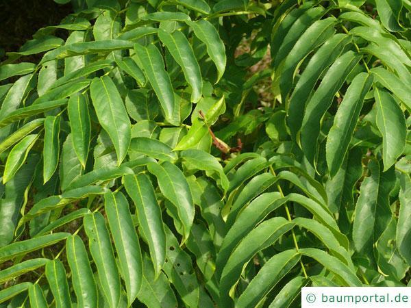 Flügelnuss (Pterocarya fraxinifolia) Blätter