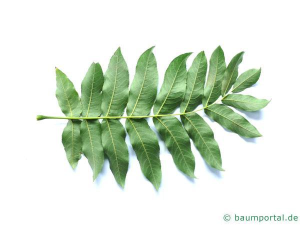 Flügelnuss (Pterocarya fraxinifolia) Blatt Rückseite