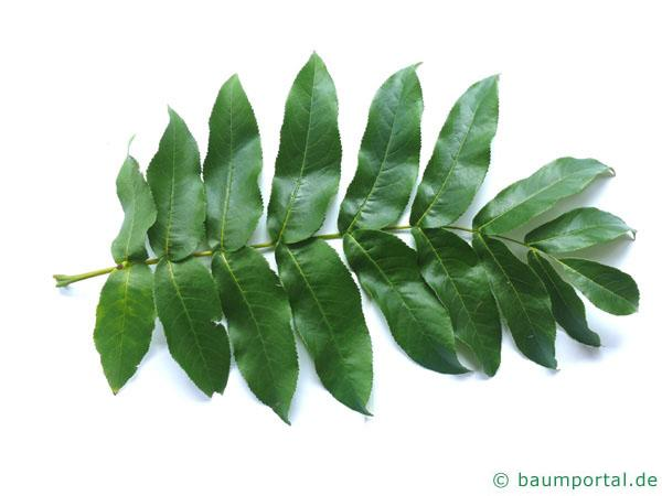 Flügelnuss (Pterocarya fraxinifolia) Blatt