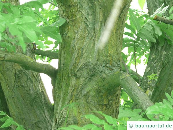 Flügelnuss (Pterocarya fraxinifolia) Stamm / Borke / Rinde