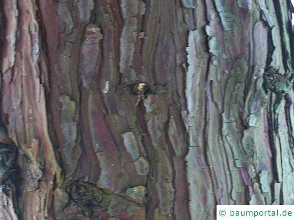 Fluss-Zeder (Calocedrus decurrens) Stamm