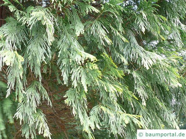 Fluss-Zeder (Calocedrus decurrens) Äste und Zweige