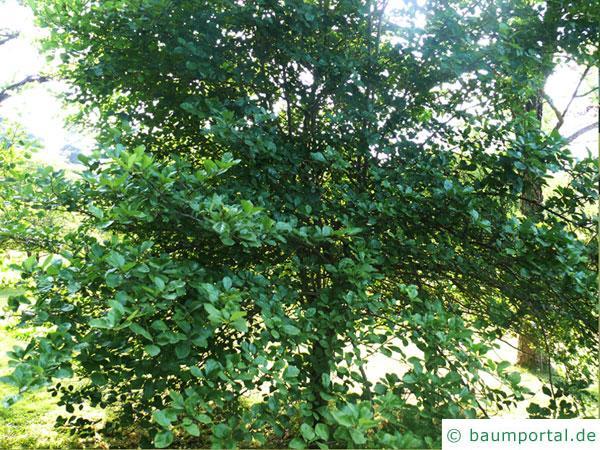 frostiger Weißdorn (Crataegus pruinosa) Baum im Sommer