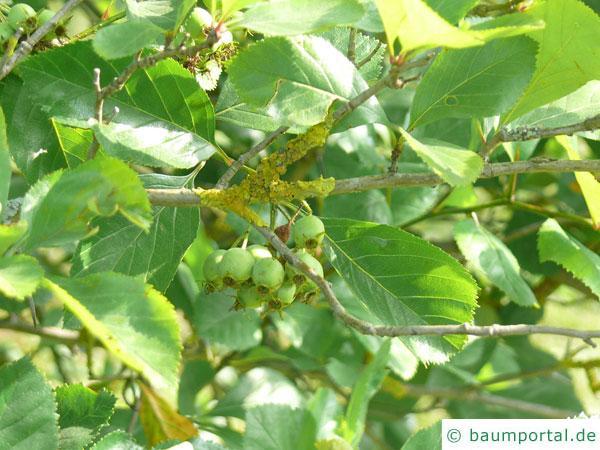 frostiger Weißdorn (Crataegus pruinosa) Blattstellung
