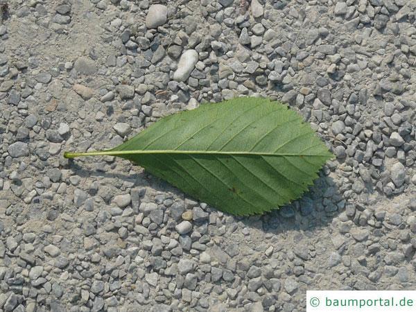 frostiger Weißdorn (Crataegus pruinosa) Blatt Unterseite