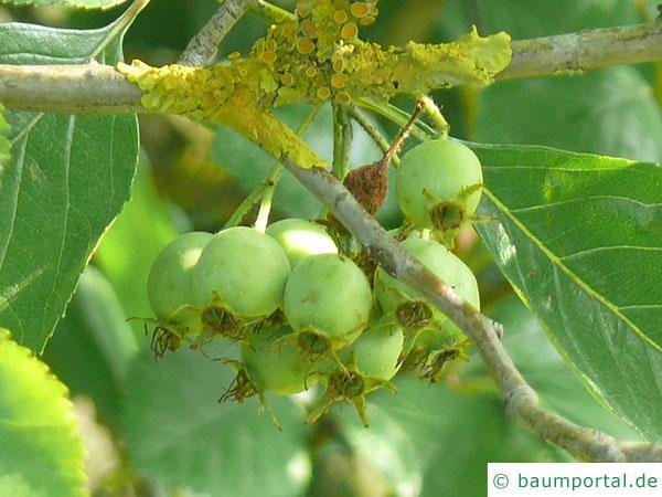 frostiger Weißdorn (Crataegus pruinosa) Früchte