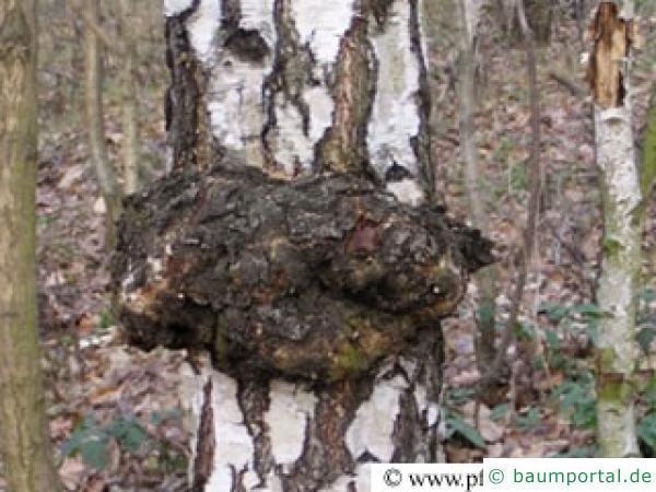 holzkropf verwachsungen an der birke