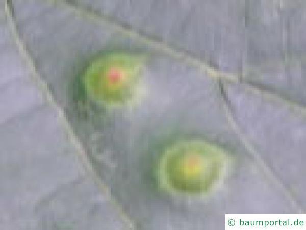 Linde Gallen der Gallmücke
