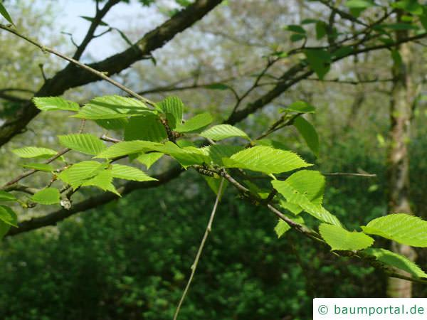 Gelb-Birke (Betula alleghaniensis) Blätter im Mai