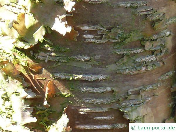 Gelb-Birke (Betula alleghaniensis) Stamm / Rinde / Borke