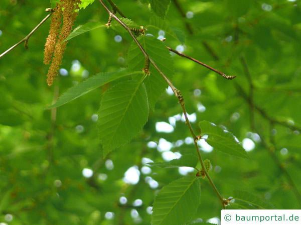 Gelb-Birke (Betula alleghaniensis) Zweig mit Blättern im Sommer