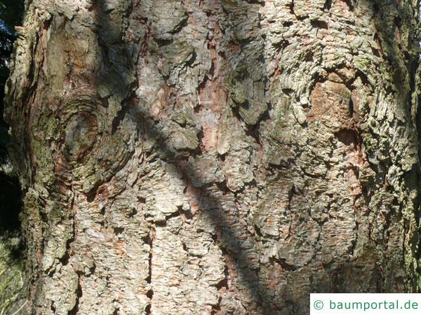 Gelb-Kiefer (Pinus ponderosa) Stamm / Rinde / Borke